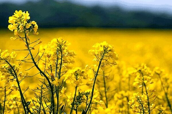پایش کلزا در سطح ۵۷۸۰ هکتار از اراضی کشاورزی قزوین آغاز شد