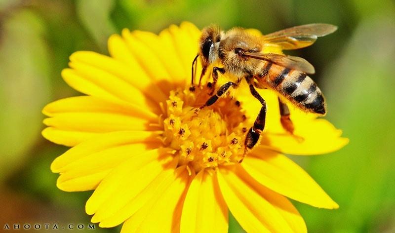 مرگ مشکوک زنبورهای عسل در سراب
