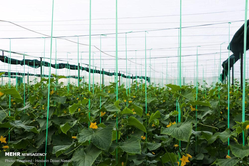 احداث ۳۰۵۲ هکتار انواع گلخانه در کشور
