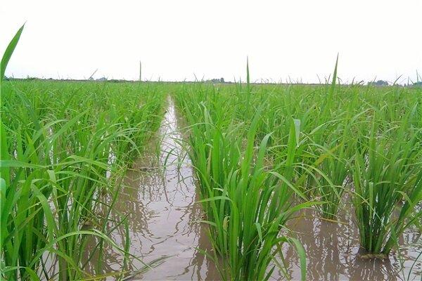 ممنوعیت کاشت برنج در صحنه به سبب به کاهش بارندگی و منابع آب