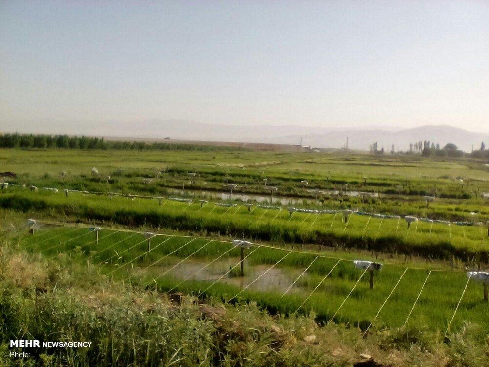 ممنوعیت کشت برنج در سال ۱۴۰۰ لغو شد