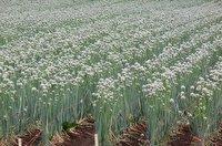 پیش بینی برداشت ۶۵ تن بذر پیاز در هرسین