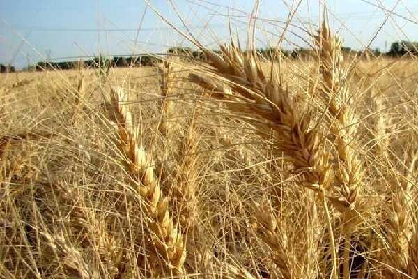کشت گندم در ۶ میلیون هکتار از مزارع کشور