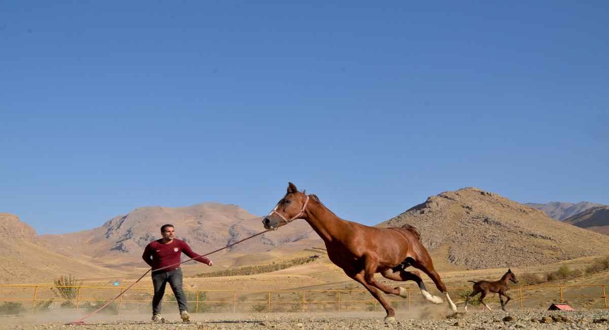 پرورش اسب نژاد کرد در سنقر